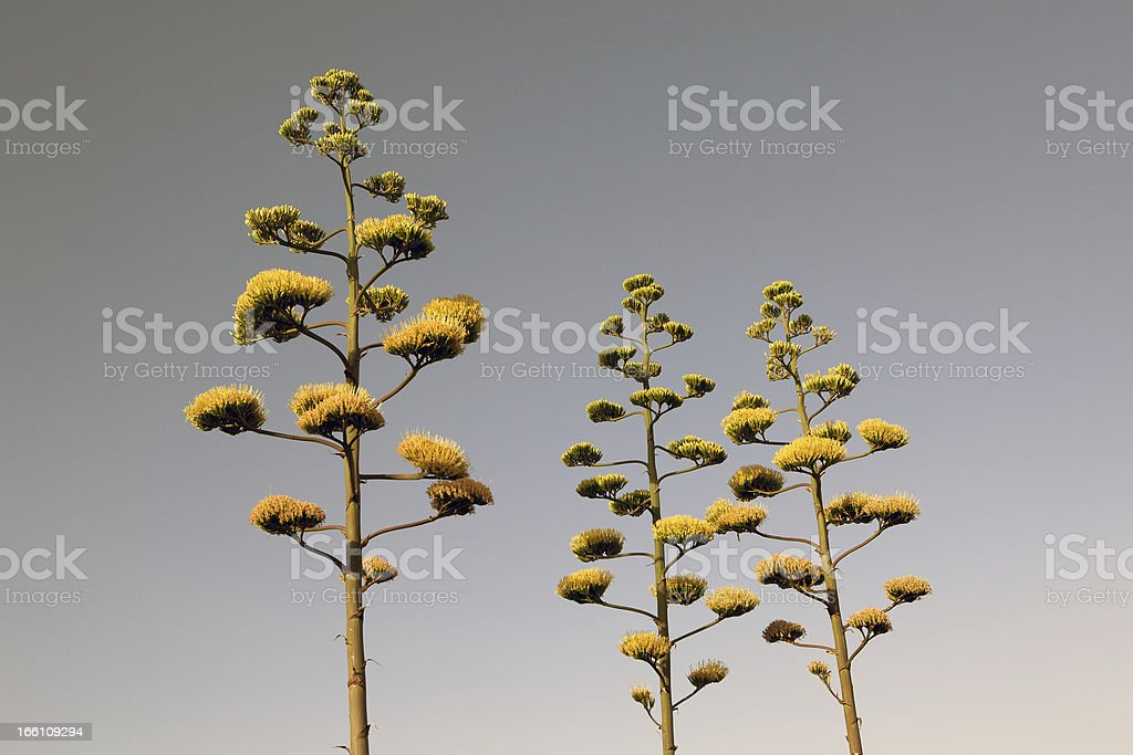 Tall yellow agave flowers stock photo