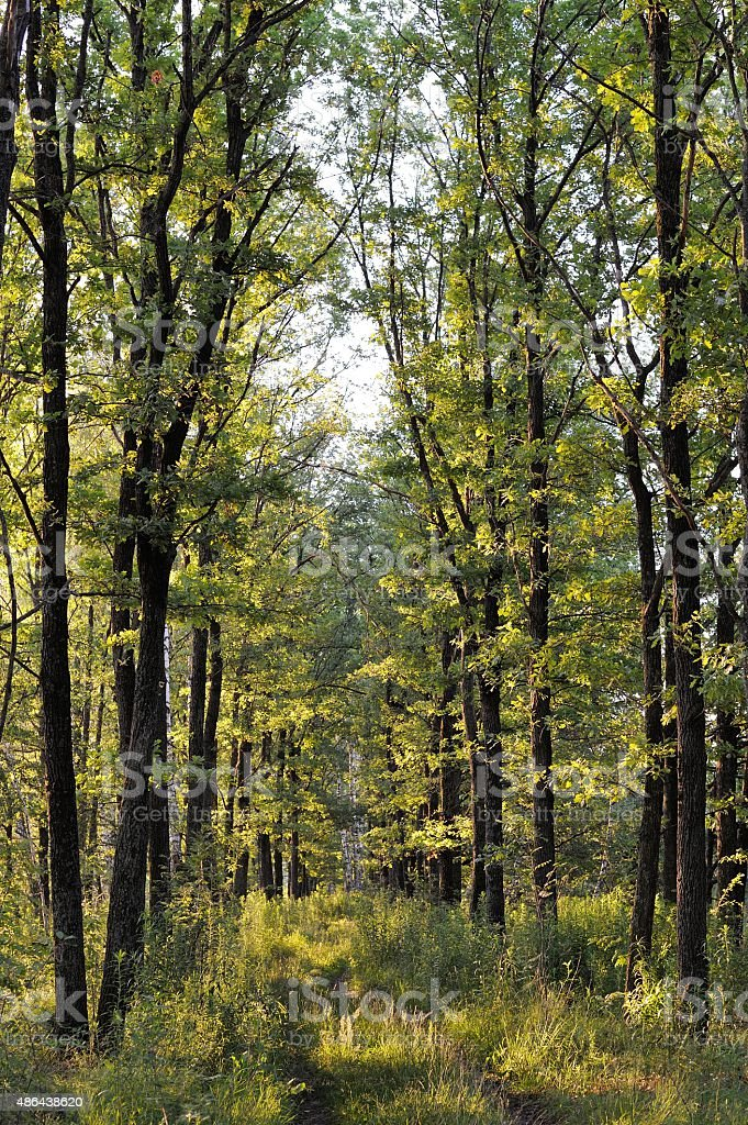 Tall young green trees in summer morning light stock photo