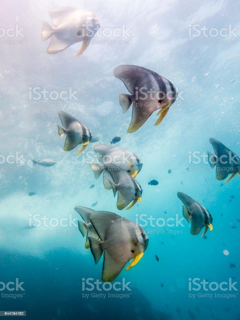 Tallfin Batfish (Platax teira) aka Longfin Spadefish stock photo