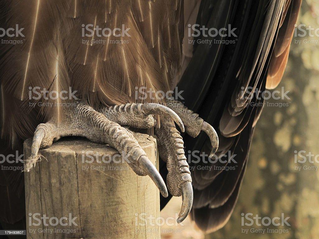 talon of a vulture close up stock photo