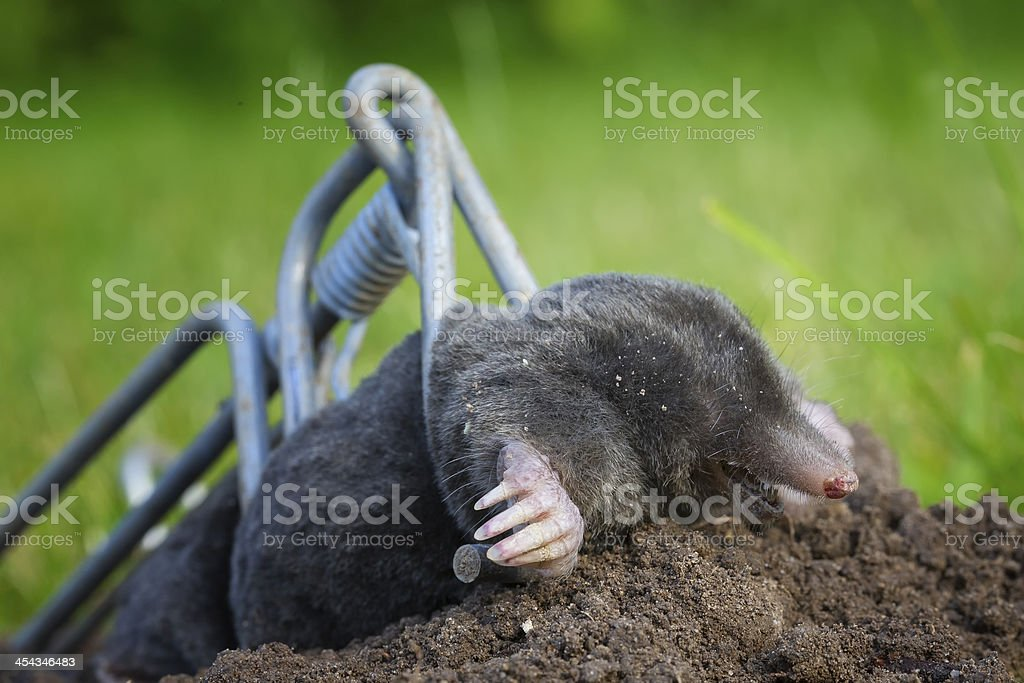 Talpa europaea, European Mole in a trap stock photo