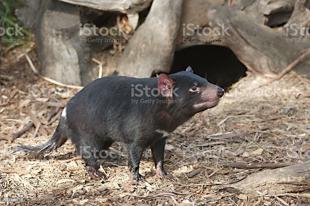 Tamanian Devil on the ground stock photo
