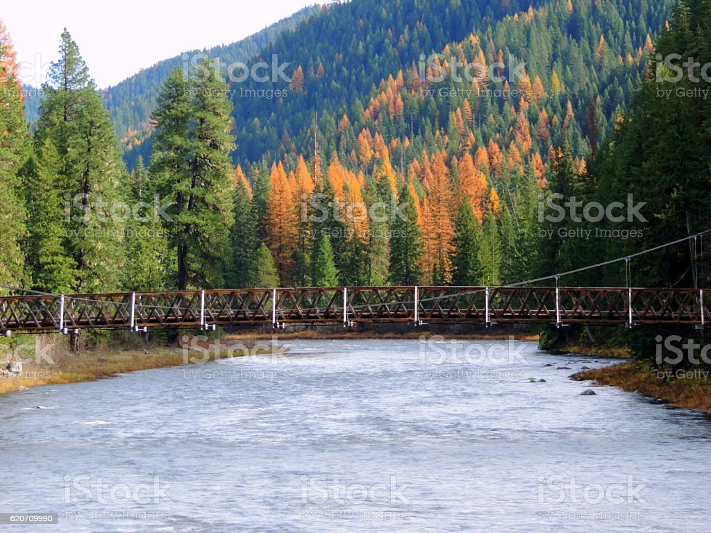 Tamaracks along Lochsa River in Idaho. stock photo
