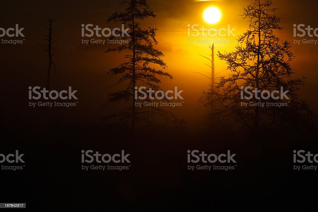 Tamaracks silhouetted by a misty morning sunrise. stock photo