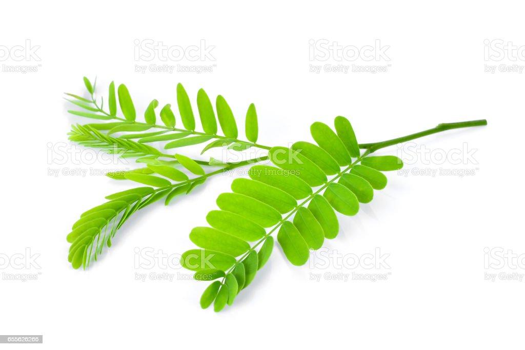 Tamarind leaves isolated on white background stock photo