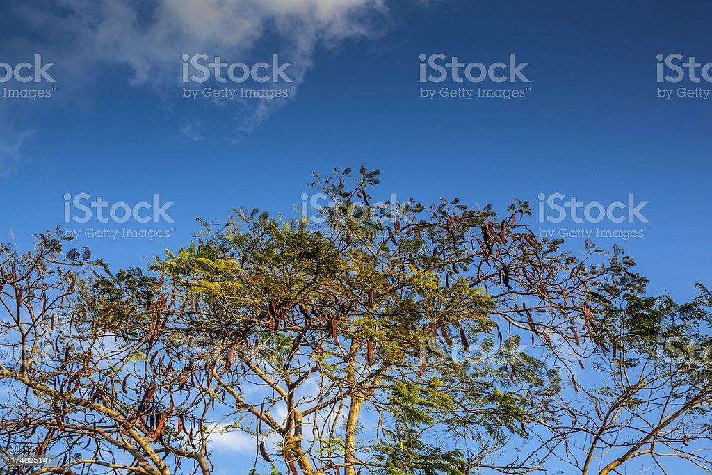 Tamarind tree royalty-free stock photo