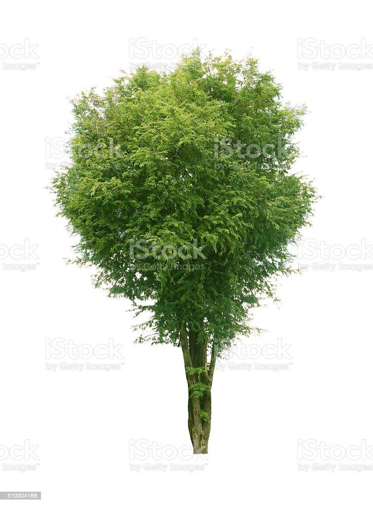 Tamarind tree stock photo