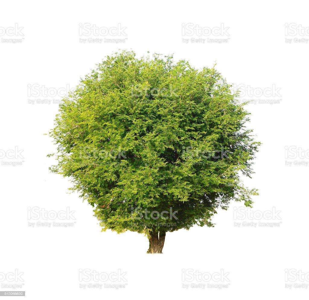 Tamarind tree (Tamarindus indica) tropical tree in the northeast stock photo