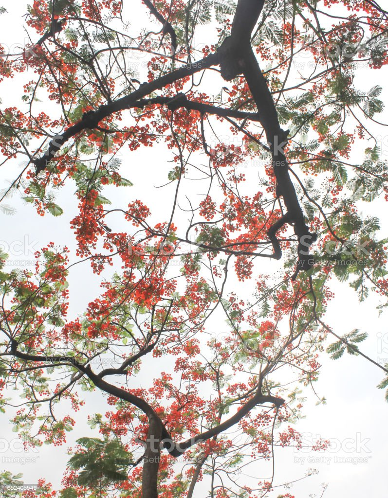 Tamarine tree with the red flower stock photo