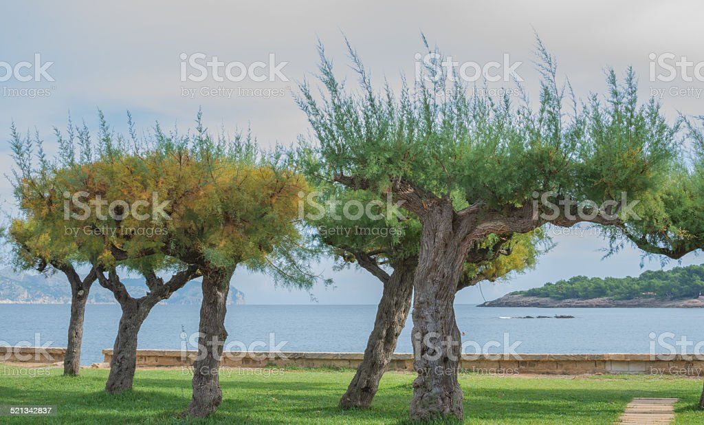 Tamarisk trees by the bay stock photo