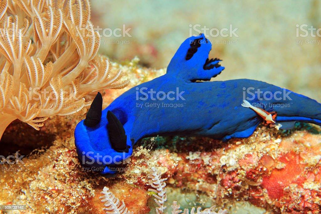 Tambja Morosa with a Free Riding Emperor Shrimp stock photo