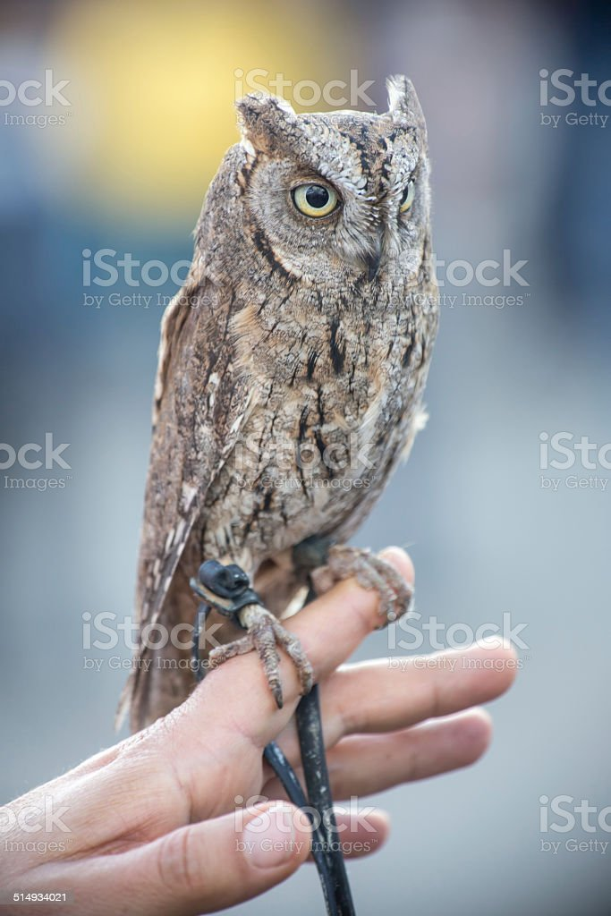 tame little owl stock photo