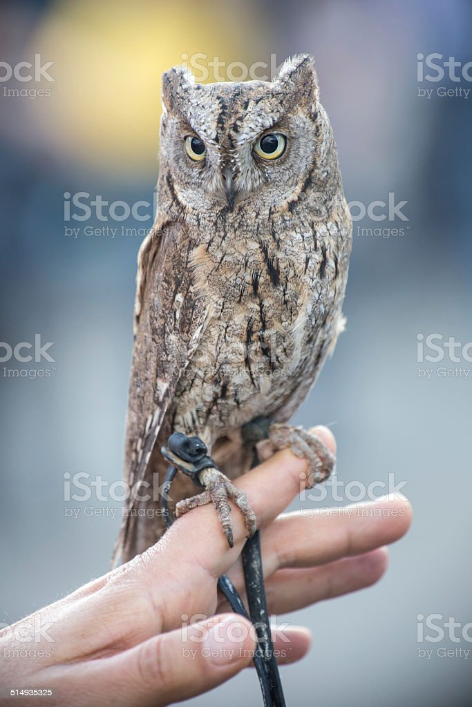 tame little owl stock photo