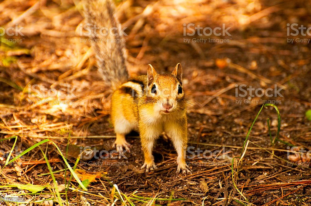 Tamia squirrel affraid and scared looking at you stock photo