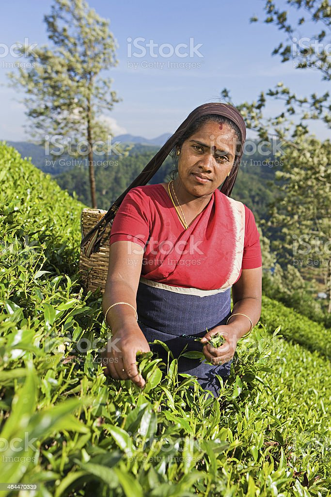 Tamil pickers collecting tea leaves on plantation royalty-free stock photo