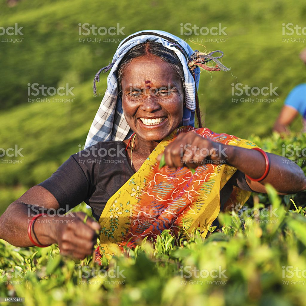 Tamil pickers collecting tea leaves on plantation, Southern India royalty-free stock photo