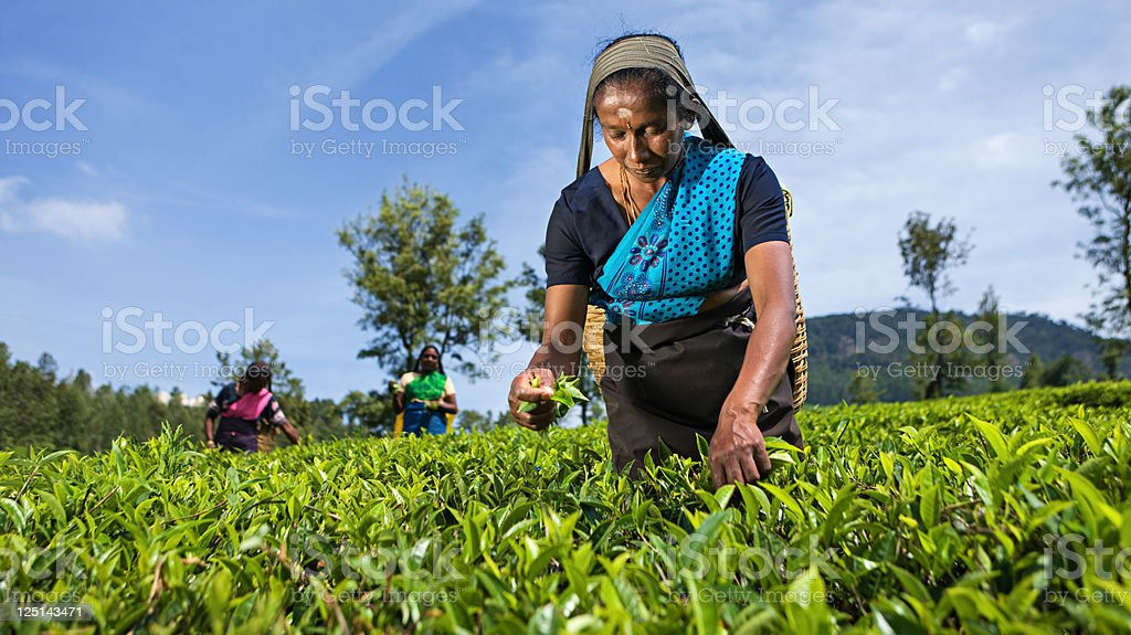 Tamil  pickers plucking tea leaves on plantation royalty-free stock photo
