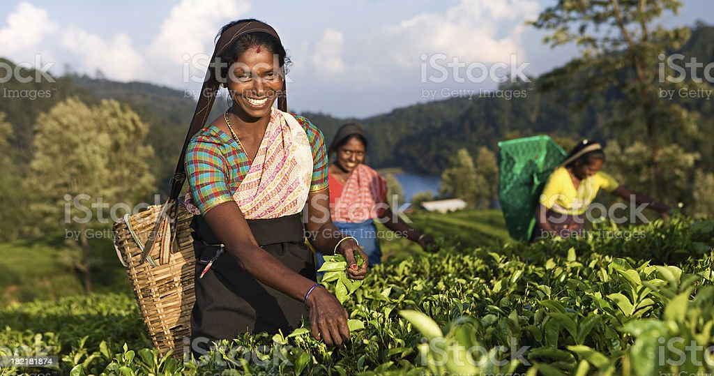 Tamil pickers plucking tea leaves on plantation stock photo