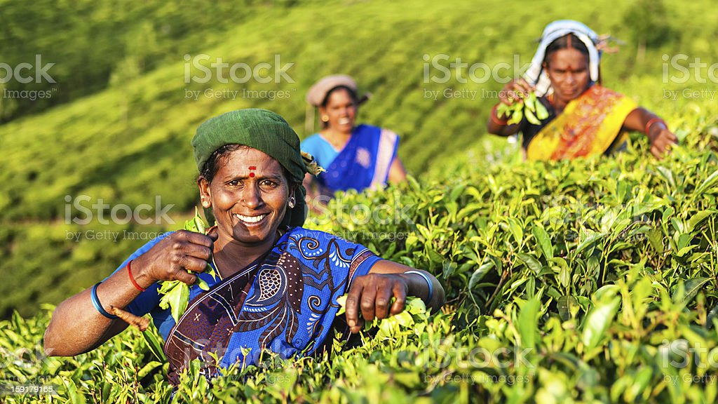 Tamil pickers plucking tea leaves on plantation, Southern India royalty-free stock photo