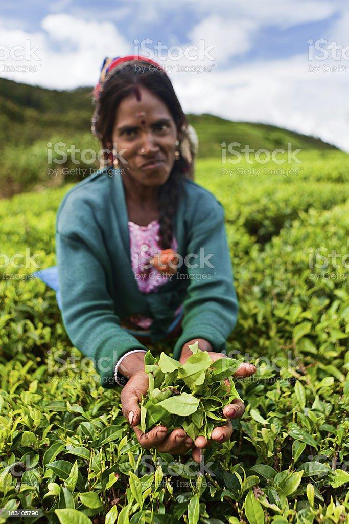 Tamil tea pickers collecting leaves, Sri Lanka royalty-free stock photo