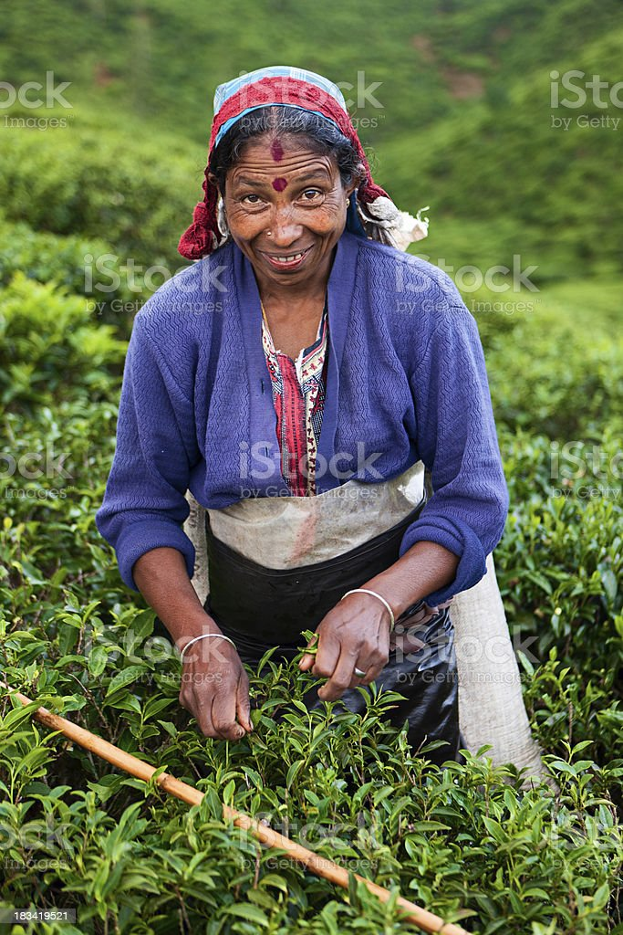 Tamil tea pickers collecting leaves, Sri Lanka royalty-free stock photo