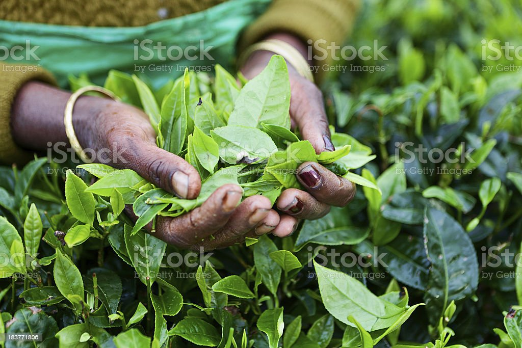 Tamil tea pickers, Sri Lanka stock photo