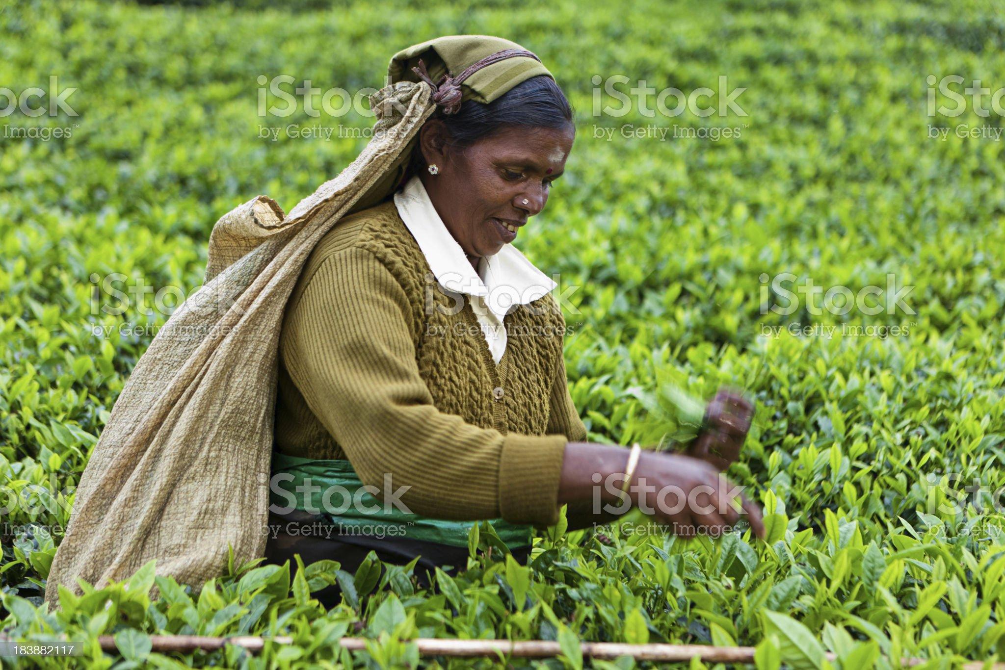 Tamil tea pickers, Sri Lanka royalty-free stock photo