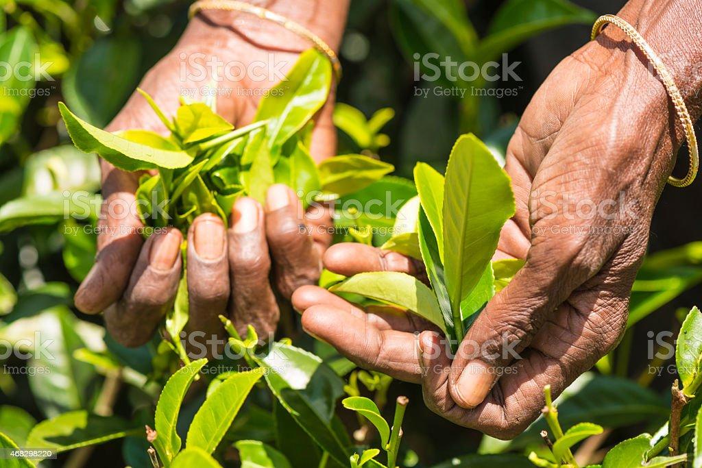 Tamil tea pisker Srilanka stock photo