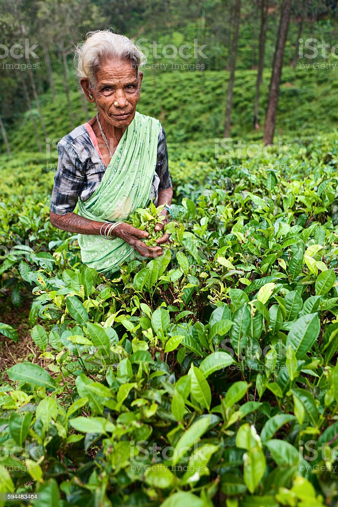 Tamil woman collecting tea leaves near Nuwara Eliya, Sri Lanka stock photo