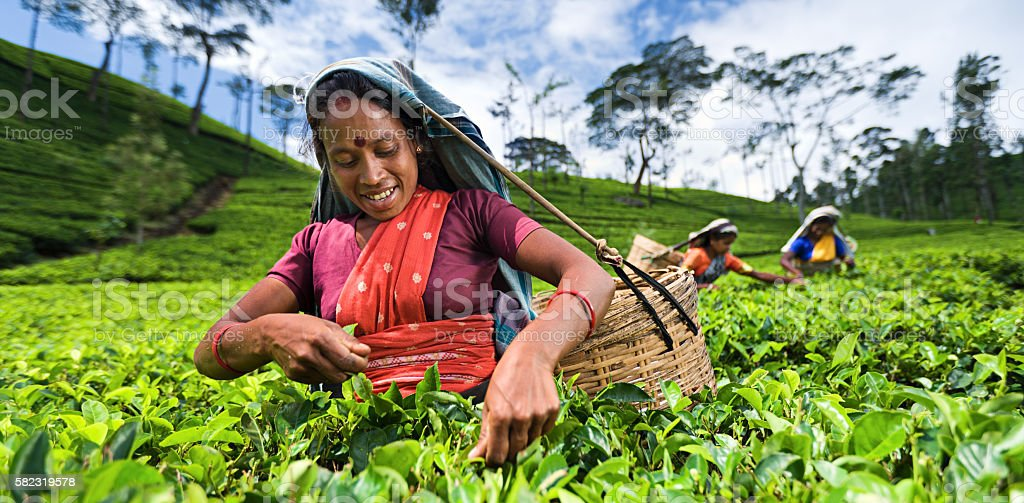 Tamil women collecting leaves near Nuwara Eliya, Ceylon stock photo