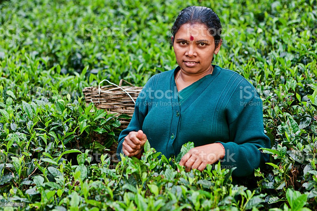 Tamil women collecting tea leaves near Nuwara Eliya, Sri Lanka stock photo