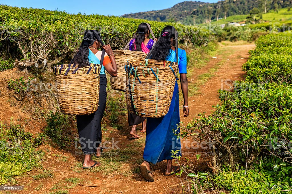 Tamil women crossing plantation near Nuwara Eliya, Ceylon stock photo