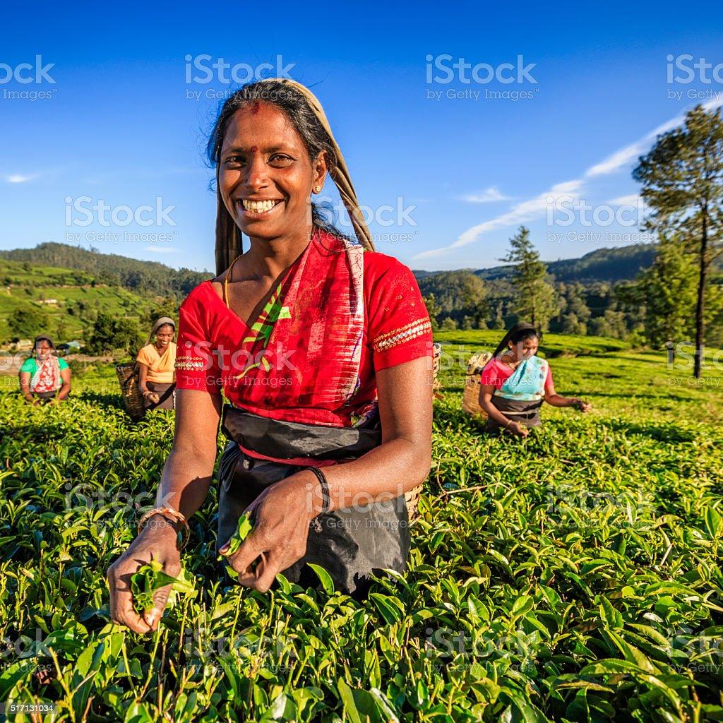 Tamil women plucking tea leaves on plantation, Ceylon stock photo