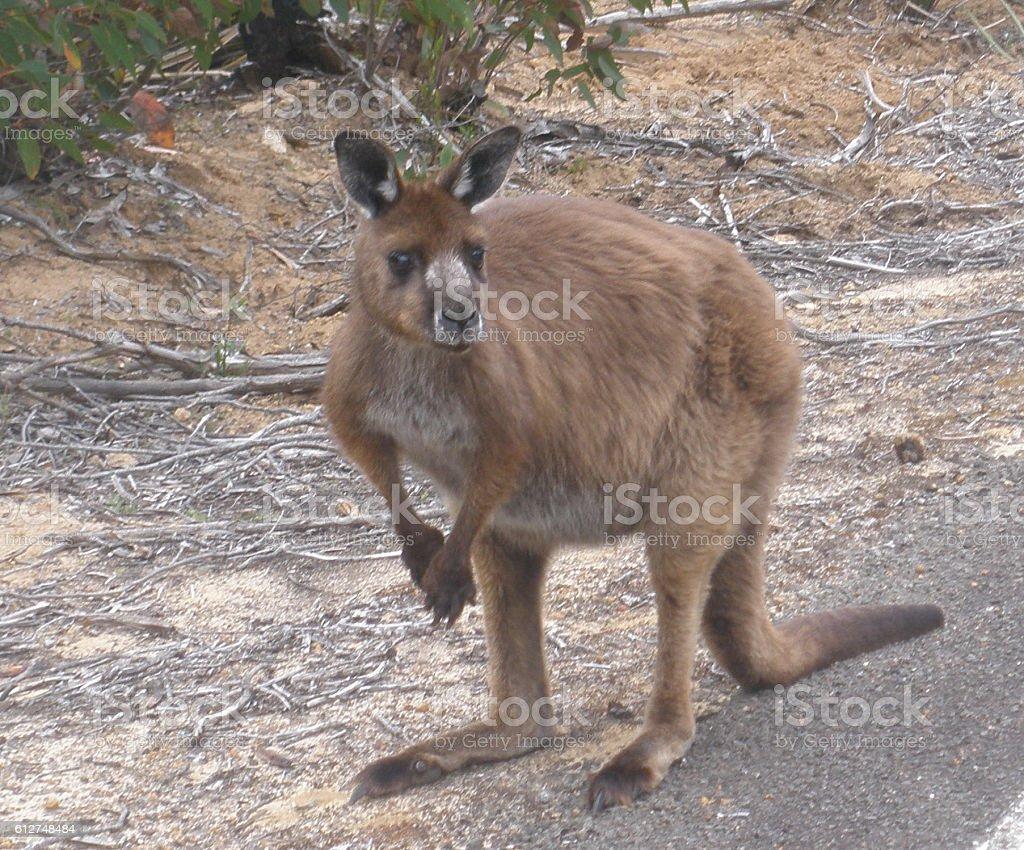 Tammar Wallaby - Macropod stock photo