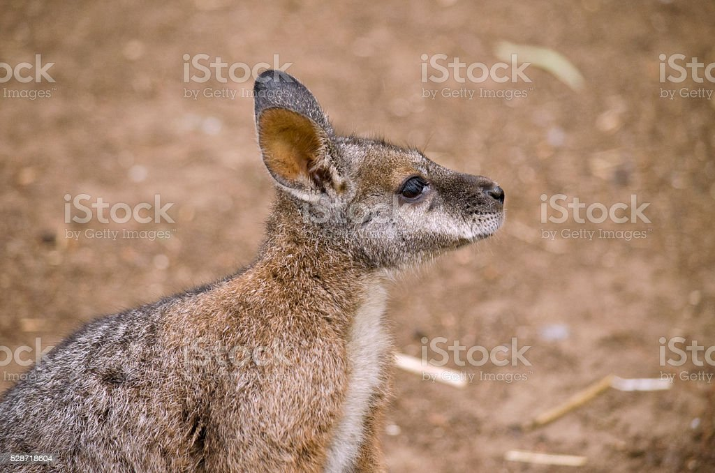 tammar wallaby stock photo