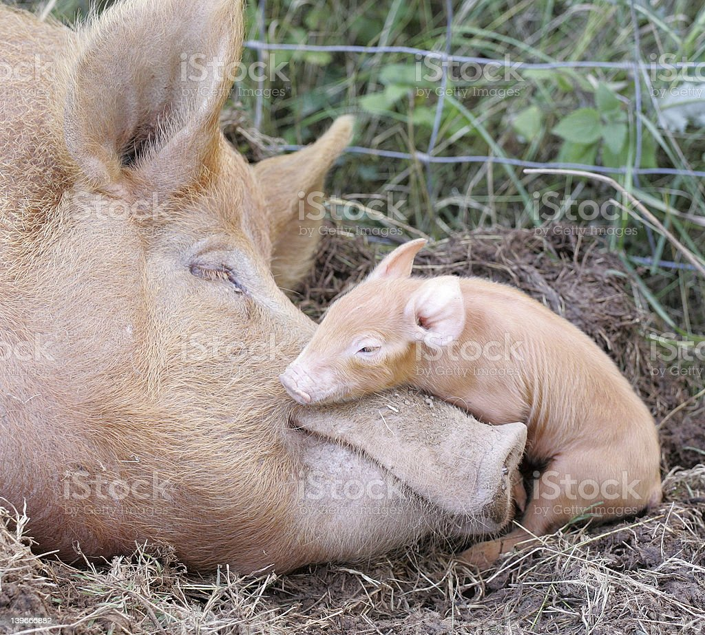 Tamworth Pig and Her New Piglet royalty-free stock photo