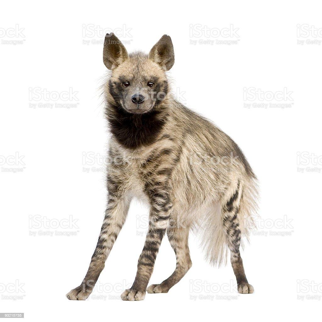 Tan and brown striped hyena on white background stock photo
