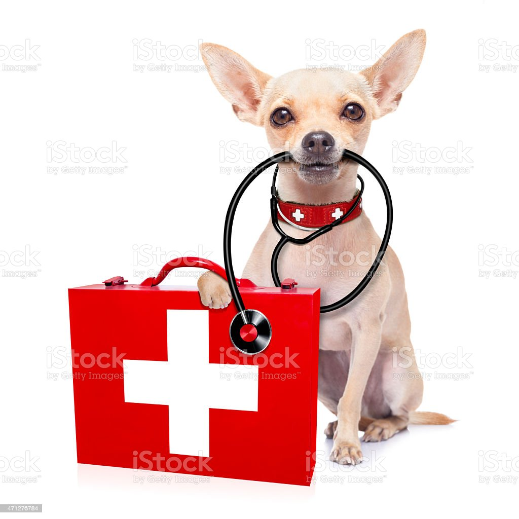 Tan chihuahua with medical instruments  stock photo