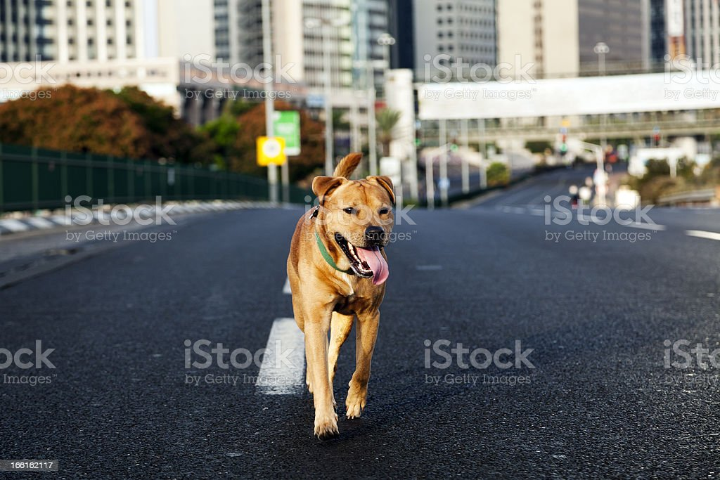Tan dog running down middle of highway road in city stock photo