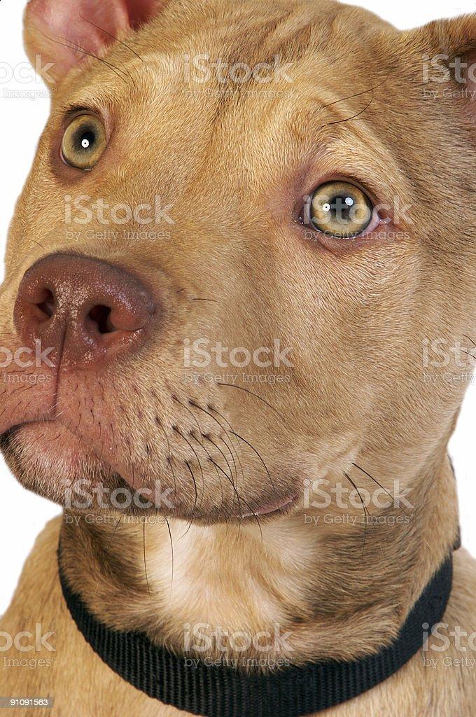 Tan Pitbull Terrier Puppy royalty-free stock photo