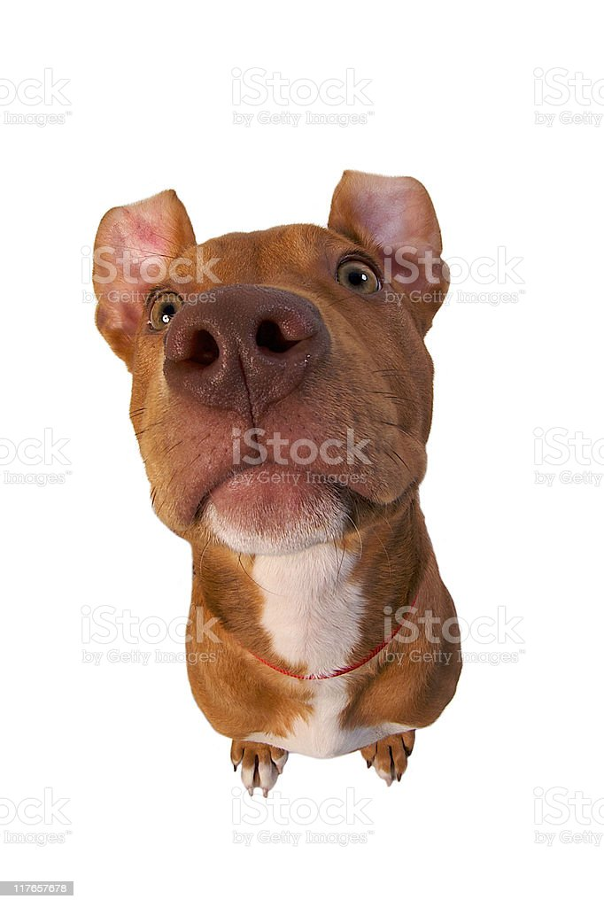 Tan Pitbull Terrier with Floppy Ears Looking Up royalty-free stock photo