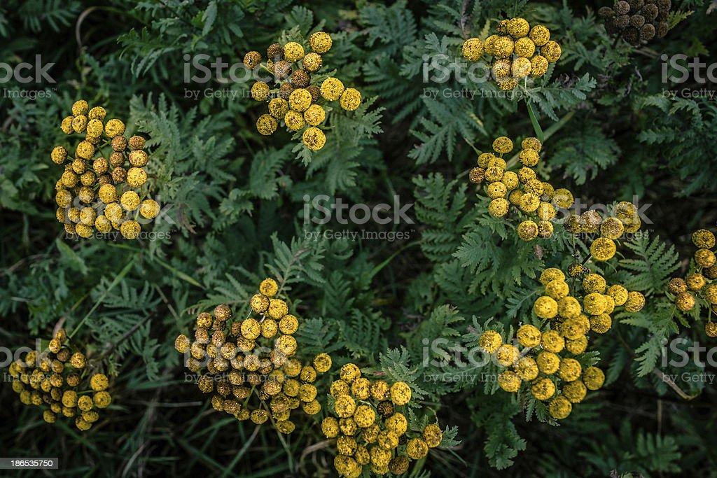Tanacetum vulgare royalty-free stock photo