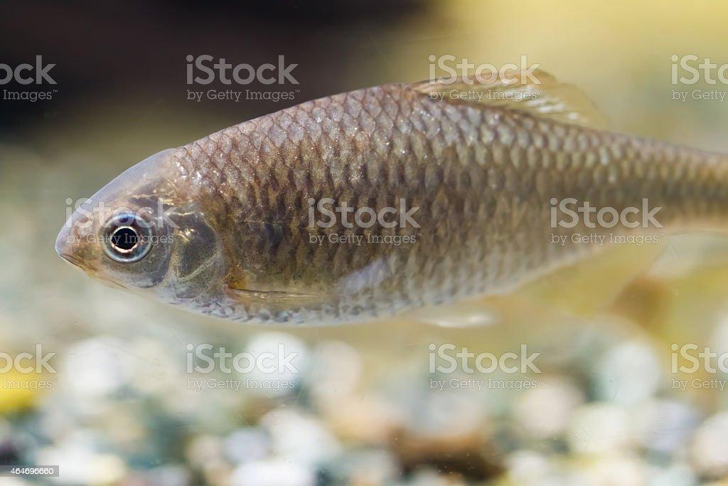Tanago freshwater fish Japan stock photo