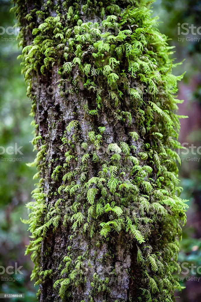 Tanbark-Oak Tree Covered In Moss royalty-free stock photo