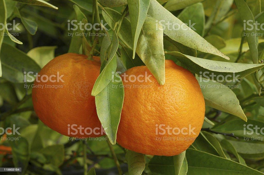tangerine, Citrus reticulata, fruit on tree stock photo