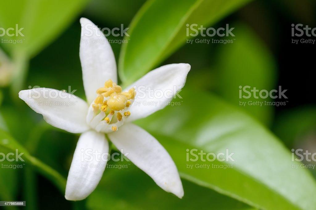 Tangerine flower stock photo
