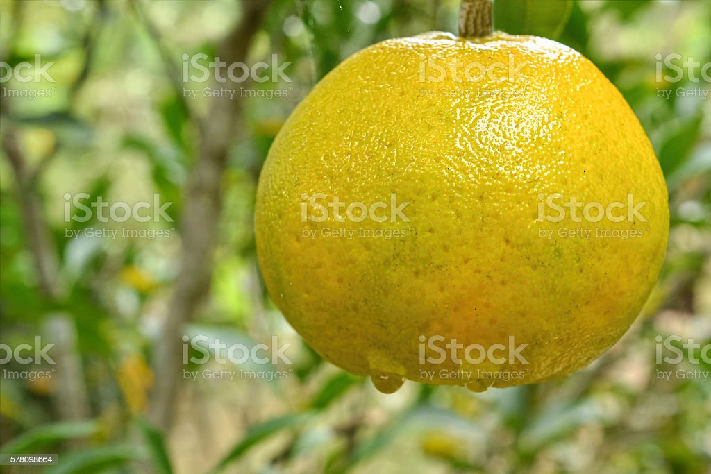 Tangerine on tree stock photo