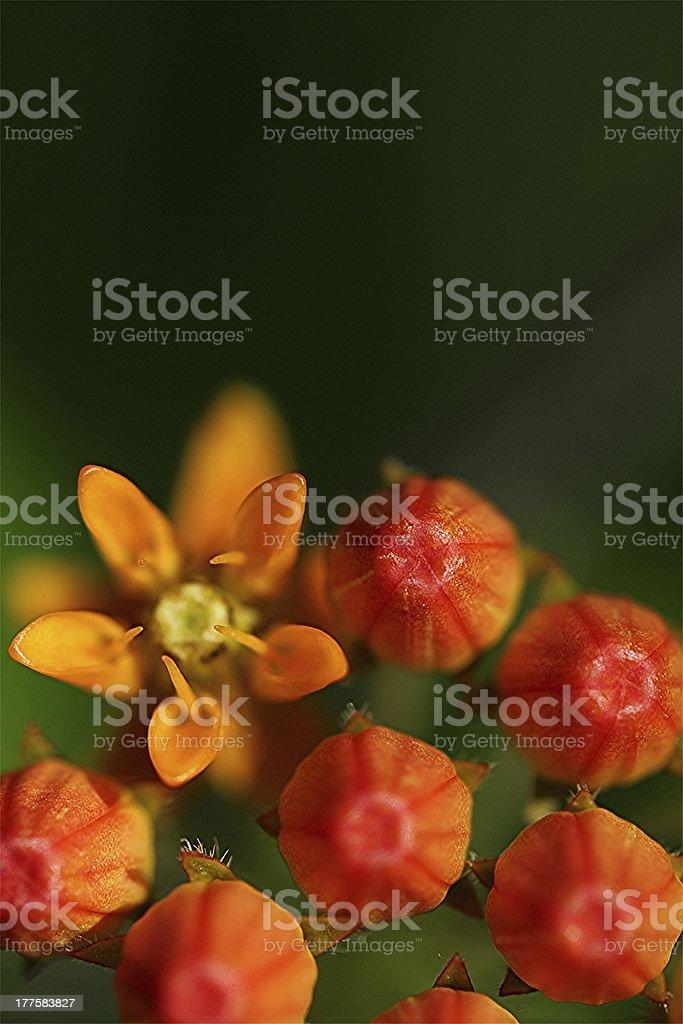 Tangerine Tango stock photo