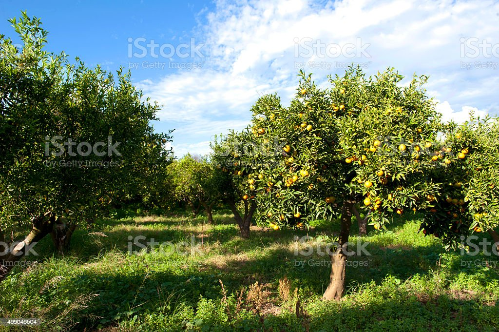 Tangerine tree garden stock photo