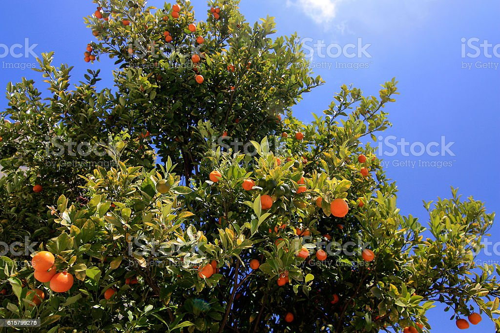 Tangerine tree in Greece. stock photo